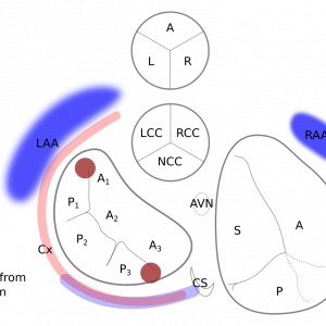 Schematic of the human heart base.View from right shoulder towards apex.